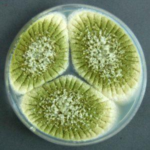 آسپرژیلوس فلاووس (Aspergillus flavus)